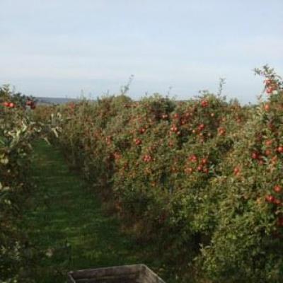 Les pommes de Xavier Ferté